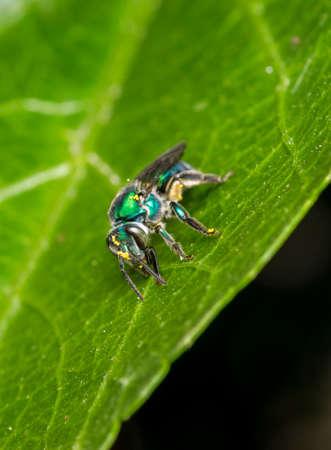Cuckoo wasp on a plant leaf