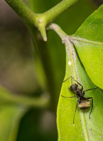 Black carpenter ant on a green leaf Stock Photo