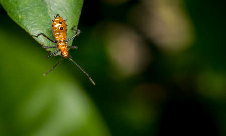 Genus zelus or assassin orange bug hanging on a tree leaf Stock Photo