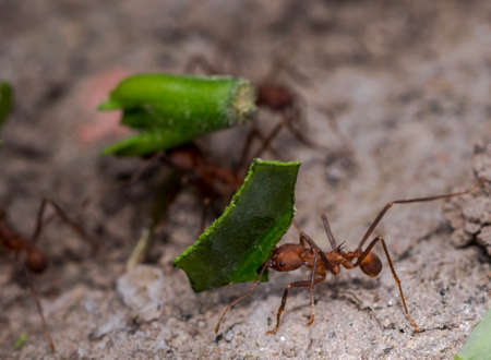 Ants carrying green leaf parts to their nest