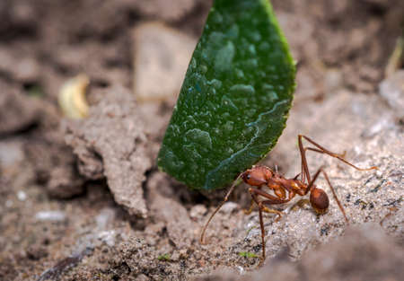 Ant carrying green leaf parts to its nest