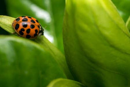 Spotted orange ladybug on a green leaf Stock Photo