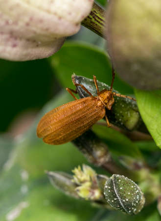 Reticulated netwinged beetle on a tree branch
