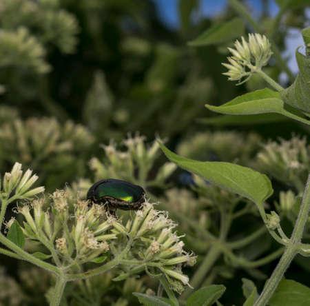 Metalic green beetle in the wild Stock Photo