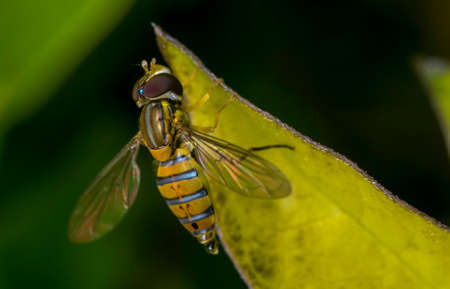 Toxomerus marginatus or flower fly on a green leaf Stock Photo