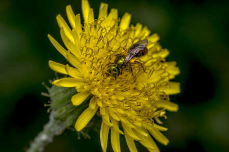 Agapostemon sweat bee pollinating a yellow flower Stock Photo
