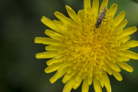 stripy: Common fly on a tiny yellow flower Stock Photo