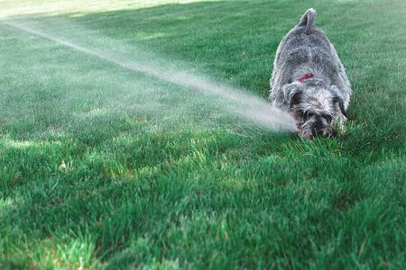 Wet happy pet schnauzer dog puppy playing with water, drinking from sprinkler in a hot day Reklamní fotografie
