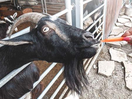 woman vet feeding goat. farm and farming concept.