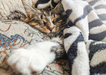 Cute striped kitten lying covered white light blanket on bed. ... Concept of adorable pets