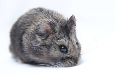 Fat gray furry hamster isolated on white background. feed pets with sun seeds or dwarf. cute and healthy adult hamsters
