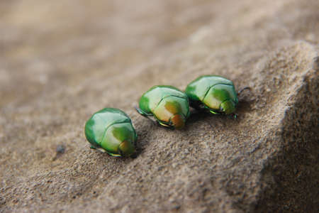 The shiny green beetle or Cotinis mutabilis is a nocturnal animal. three green beetles on a brown rock background Stock Photo