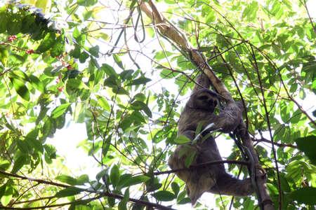 oso perezoso: La curiosa la pereza