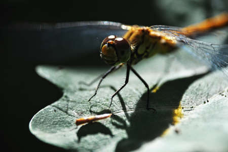 eye close up: Yellow dragonfly on green leaf with shadow