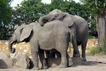 a small herd of elephants on the catwalk at zoo gray earth sand Standard-Bild
