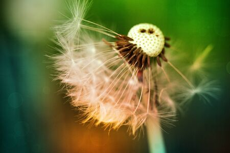 Dandelion at the meadow spring pollination seeds in green color at green background Imagens