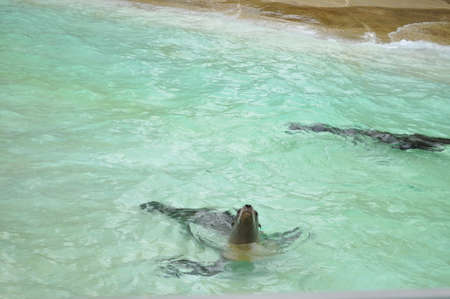 little seal seal in the water at the zoo swimming