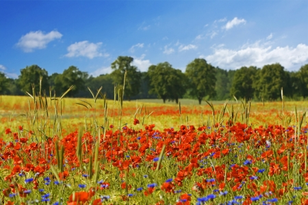 colorful field of poppies with green trees in the background Stock Photo