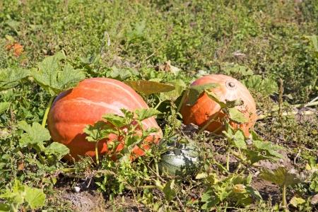 cucurbit: two orange pumpkins and one green cucurbit on a field Stock Photo
