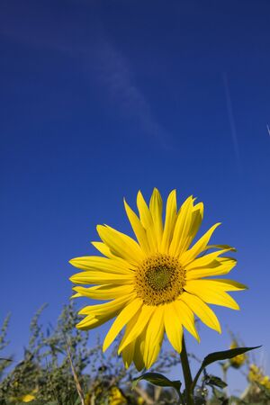 yellow sunflower blossom on a field with blue sky photo
