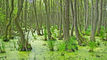 trees in the swamp, green nature photo