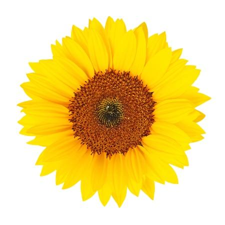 helianthus annuus: Sunflower (Helianthus annuus) blossom isolated on white background