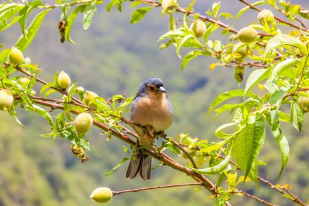 Madeiran chaffinch sitting on a branch in the tree photo