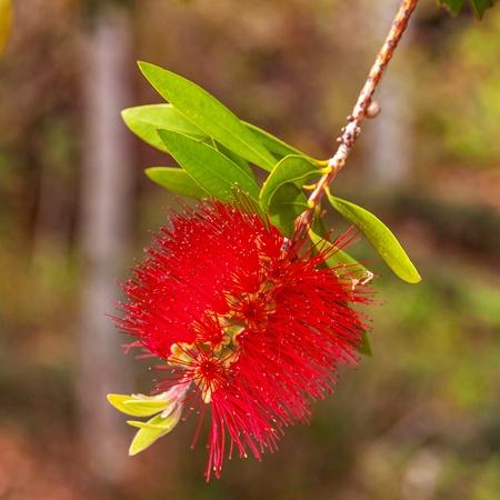 callistemon citrinus: Red bottlebrush tree flower (callistemon citrinus), also known as crimson bottlebrush is a shrub in the family myrtaceae