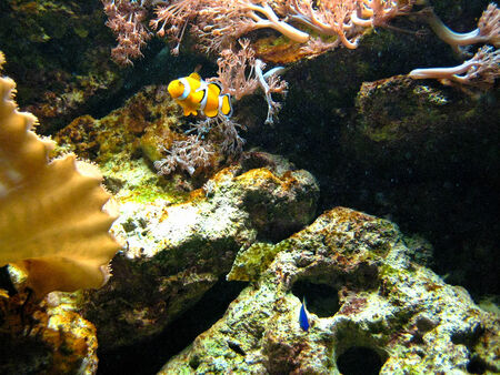 clown fish: Black-orange clown fish in aquarium