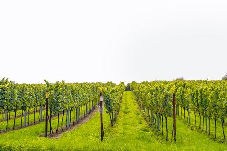 biological vineyard: vineyard  grapevine isolated on white background