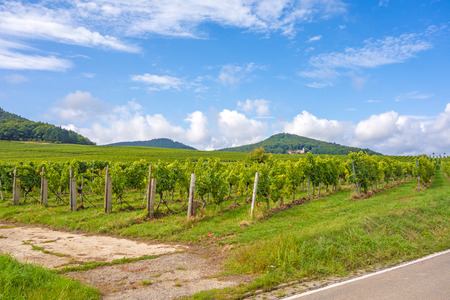 biological vineyard: in the vineyards somewhere in rhineland-palatinate, germany Stock Photo
