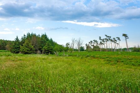 windswept: Landscape behind the Darss beach, grassland with the typical windswept trees