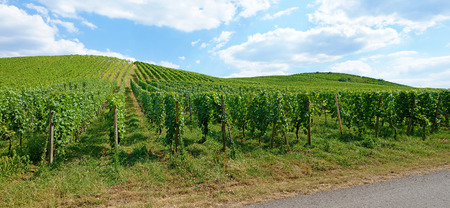 blue cloudy sky: Vineyard panorama with blue cloudy sky Stock Photo