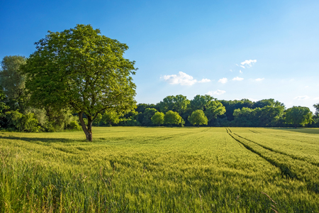 Boom, gebied, weide en het bos - blauwe lucht