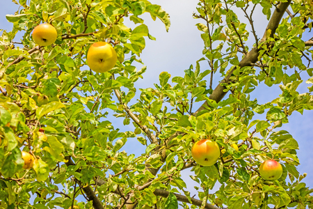 green garden: Apple tree - branches with red  yellow apples Stock Photo