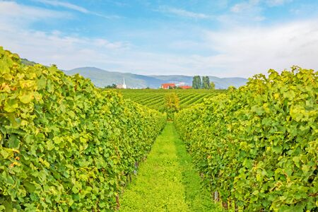 farm field: Beautiful green rows of grapes with blue sky