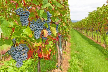vi�edo: uvas rojas maduras en el vi�edo antes de la cosecha