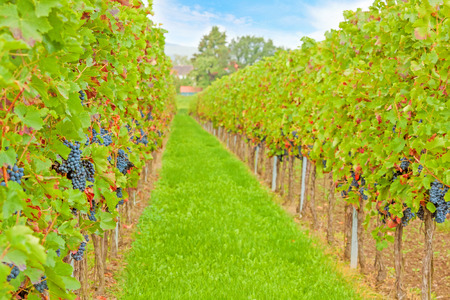 grape vines: Beautiful green rows of grapes with blue sky