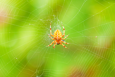 bruennichi: Cross spider sitting on web - green colorful background