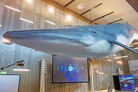 ballena azul: Canical, Portugal - 5 de junio de 2013: Museu da Baleia (Whale Museum). Enorme modelo ballena azul que cuelga del techo. El museo documenta la historia de la caza de ballenas en Madeira.