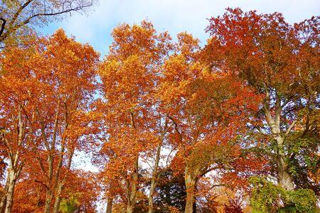 feuille arbre: arbres color�s en automne, ciel bleu