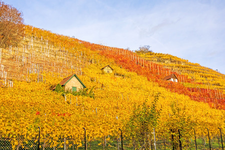 winegrowing: Vineyard in autumn - wine-growing cabins of vintners between grapevines at hillside with golden brown red yellow leaves