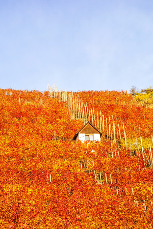 winegrowing: Vineyard in autumn - wine-growing cabin of vintner between grapevines at hillside with golden brown red yellow leaves