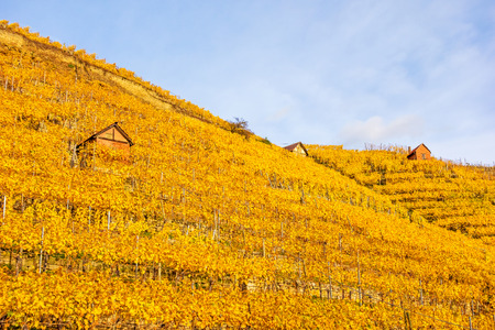 Vineyard in autumn - wine-growing cabins of vintners between grapevines at hillside with golden brown yellow leaves