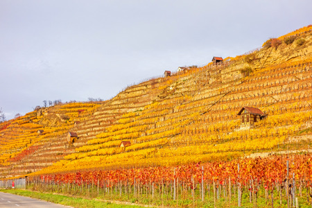 winegrowing: Vineyard in autumn - wine-growing cabins of vintners between grapevines at hillside with golden brown yellow leaves