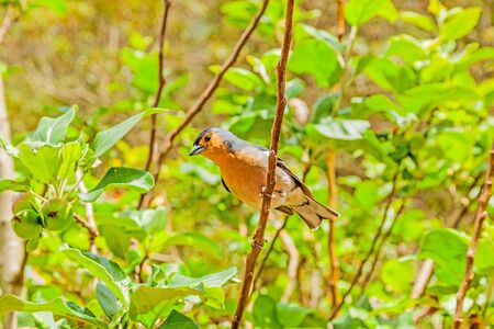 feathering: Madeiran chaffinch sitting on a branch in the tree