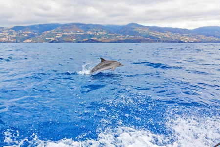 Wild dolphin jumping out of the water - Madeira Island in the background