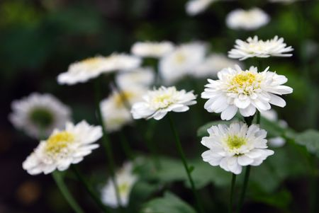 Camomile Flowers with Blured Background