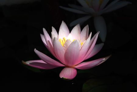 Blooming Water Lily on Blcak Background