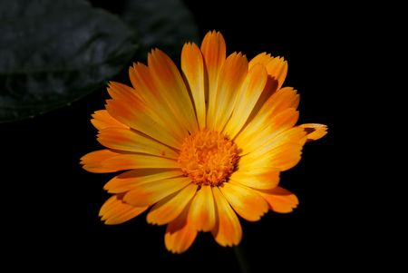 Orange Blooming Chamomile on Black Background photo